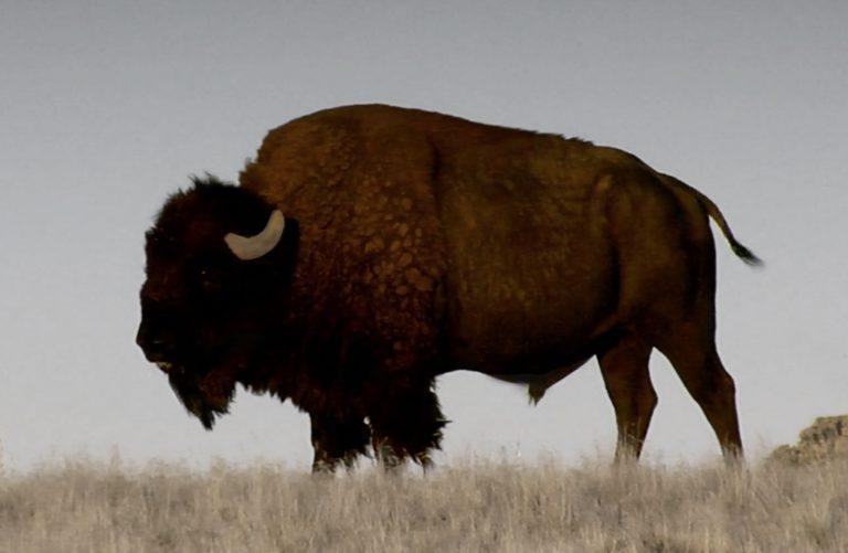 Bison in Saskatchewan